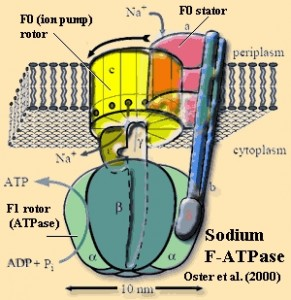 ATP Synthase – 'Your own personal power plant.' Image from: www.palaeos.com/Bacteria/Lists/Glossary/Gloss.html